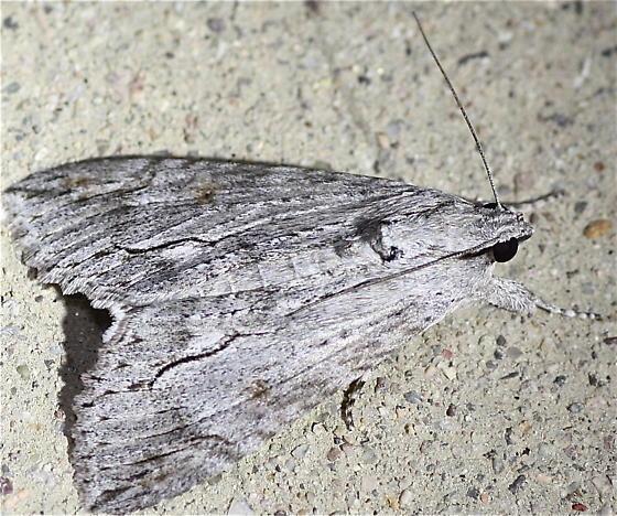 Arizona Moth - Melipotis acontioides