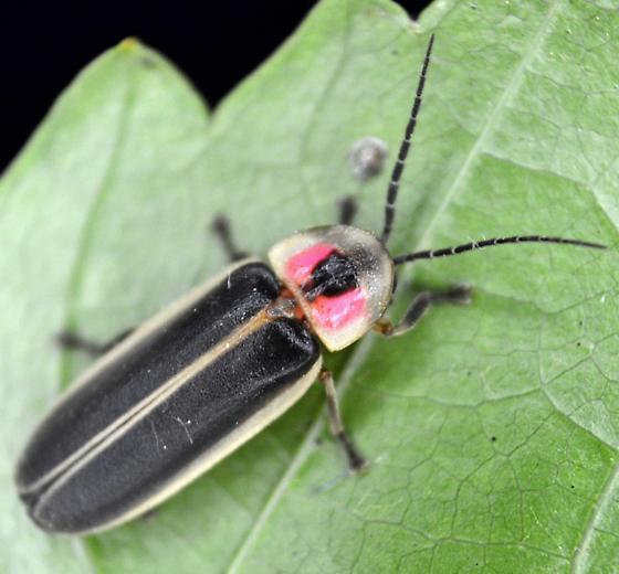 Large Firefly - Photinus pyralis - male
