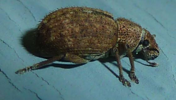 Strophosoma melanogrammum? - Strophosoma melanogrammum
