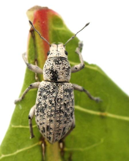 Artipus floridanus