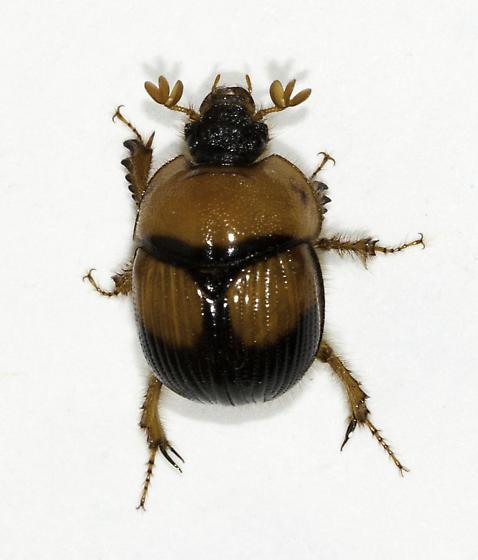 A second individual that night - Bolbocerosoma bruneri