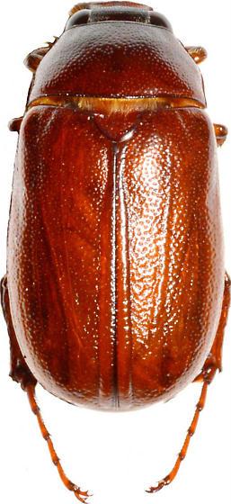 Phyllophaga hirtiventris - male
