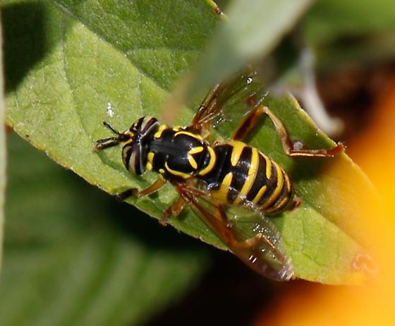 Syrphidae! - Spilomyia