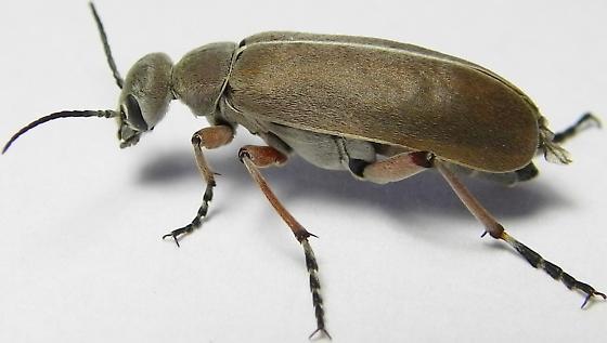Blister Beetle - Epicauta nigritarsis