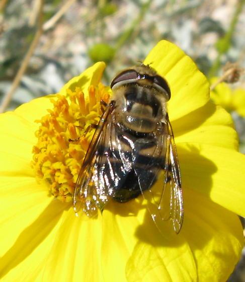 Brittlebush Fly - Copestylum apiciferum