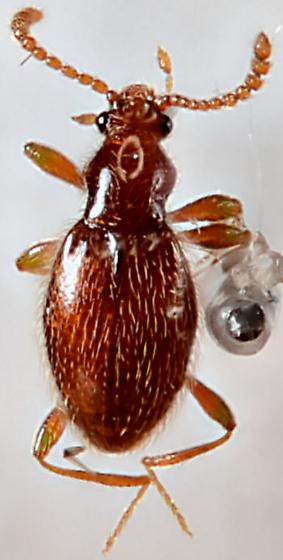 Ant-like Stone Beetle - Brachycepsis