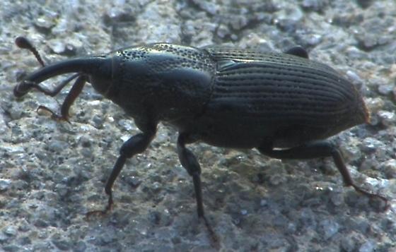 weevil - Sphenophorus pontederiae