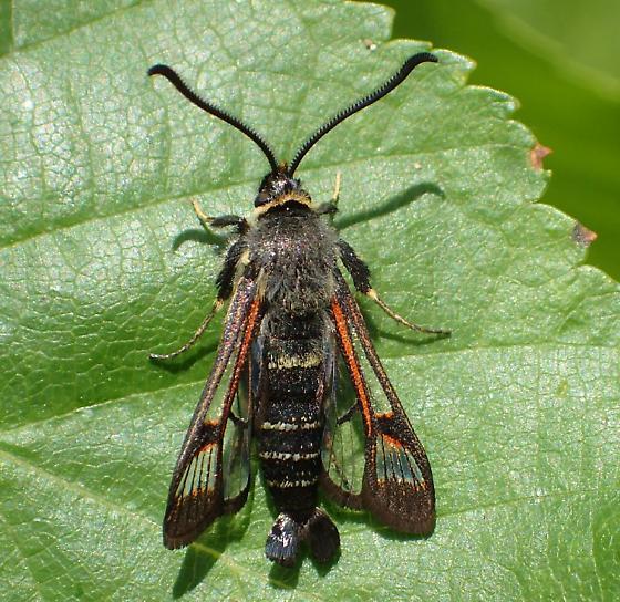 Synanthedon fulvipes ? - Albuna pyramidalis - male
