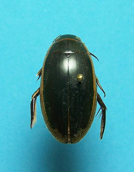 Predacious Diving Beetle - Dytiscus hybridus - female