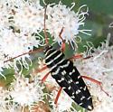 Black & white beetle? - Placosternus