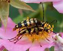 Longhorned beetle - Typocerus acuticauda