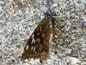 Brown/black spotted butterfly - Asterocampa celtis