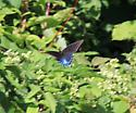 possible Pipevine Swallowtail