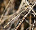 Female Tule Bluet - I believe - Enallagma carunculatum - female