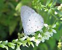 Butterfly ID? - Celastrina neglecta