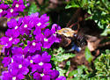 Unknown insect - Hemaris diffinis