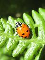 Lady Beetle ID? - Hippodamia convergens