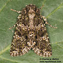 Noctuid - Apsaphida eremna