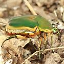 Green June Beetle - Lateral - Cotinis nitida