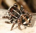 Sitticus sp. - Sittiflor palustris - male