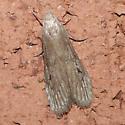 Moth 09.06.07 (4) - Aphomia terrenella