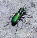 Unidentified Cicindela - Cicindela sexguttata