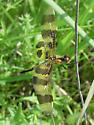 Libellulidae, Halloween Pennant - Celithemis eponina
