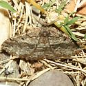 Moth - Pterospoda nigrescens