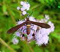 Texas Wasp Moth, Horama panthalon - Horama panthalon