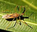 Harpactorini - Zelus renardii