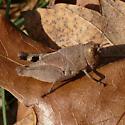 Young grasshopper... - Arphia sulphurea