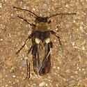 Unknown Beetle - Cerambycidae?? - Ulochaetes leoninus