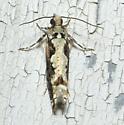 Brown and white moth - Chimoptesis pennsylvaniana
