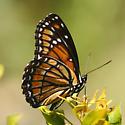 Southern Viceroy Butterfly - Limenitis archippus