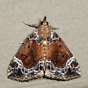 White-lined Hypena - Hypena abalienalis