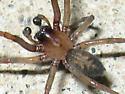 Unknown spider - Metaltella simoni - male