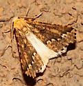 Brown & Yellow Moth - Sicya morsicaria - male