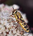 Soldier Fly sp