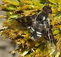 E Oregon Bee Fly - Thyridanthrax fenestratoides