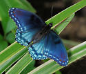 Astyanax Red-spotted Purple - Limenitis arthemis