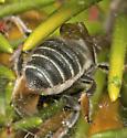 Family Megachilidae: Leaf Cutter Bee - Megachile pseudobrevis