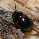 Round fungus beetle ? - Anisotoma amica