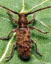 south Texas longhorn - Eupogonius pauper