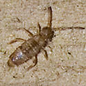 Elongate-bodied Springtail - Willowsia nigromaculata