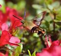 Pollinating Bee - Hemaris thysbe