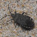 beach bug - Ceraleptus - female