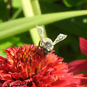 Looked like a honey bee, but obviously, that  was the wrong first impression - Apis mellifera