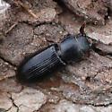 Bark-gnawing Beetle - Tenebroides corticalis
