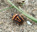Bug - Perillus bioculatus