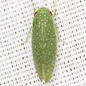 Unknown Gyponinae Leafhopper - Rugosana querci